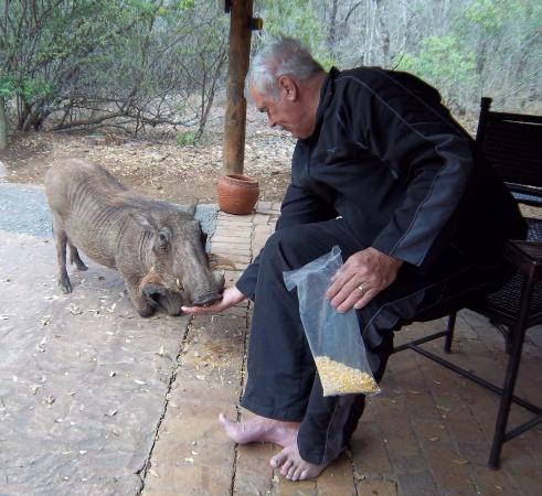 Jackalberry Ridge: feeding the warthog
