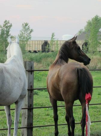 Tower City, นอร์ทดาโคตา: My horses in their paddock at the B&B which has facilities for a couple horses