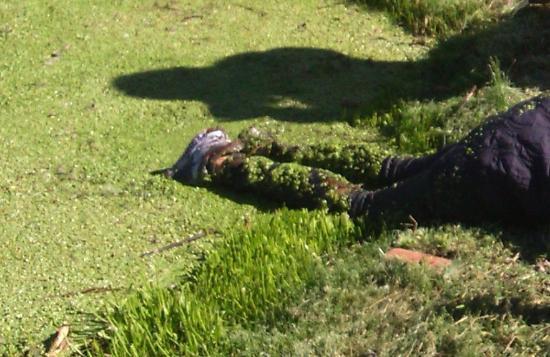 Australis Campana plantas acuaticas