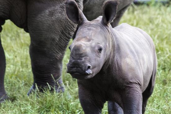 White Oak Conservation Center: White rhino baby