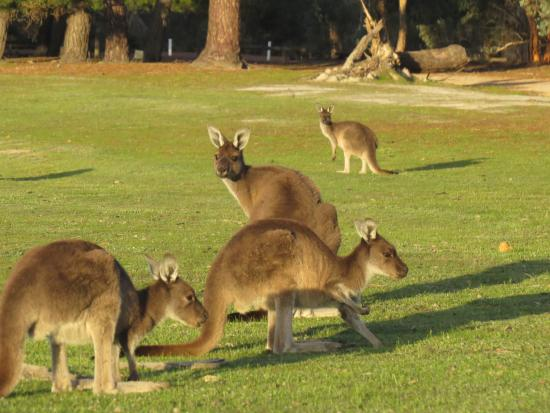 Narrogin, Австралия: Kangaroos in front of the cottage.