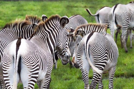 White Oak Conservation Center : Herd of Grevy's zebra