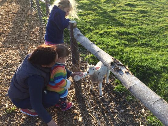 Malborough, UK: Feeding the sheep