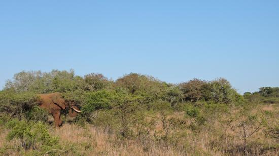 andBeyond Phinda Rock Lodge : Elephant at Phinda Game Reserve