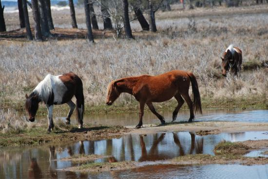 Anchor Inn: Chincoteague ponies