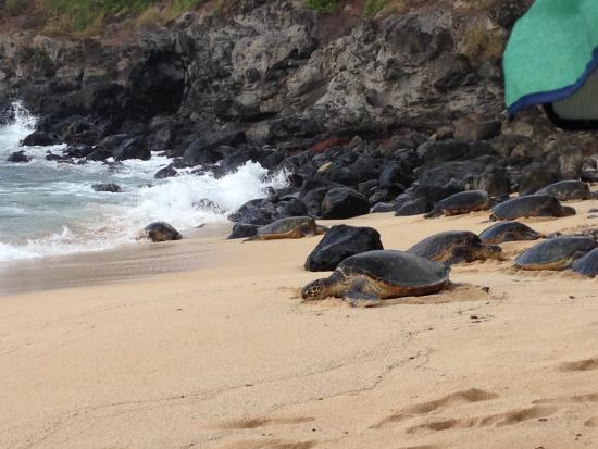 Paia, Hawaï: Green Sea Turtles on Ho'okipa Beach Park