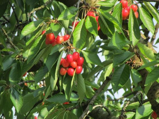 Agriturismo Fattoria Grimana: Cherry tree at the B&B