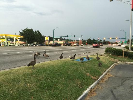 Motel 6 Norfolk: Gooses crossing the street opposite the motel