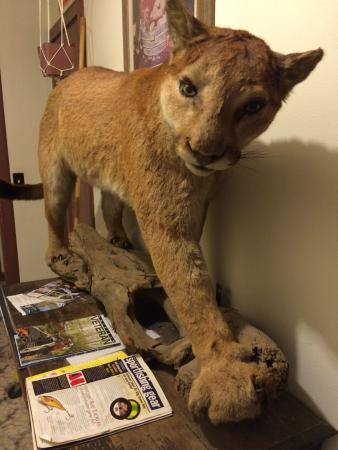 Ukiah, OR: Stuffed Cougar