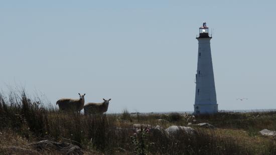 Cape Sable Island, Canada: The Cape lighthouse with the island sheep