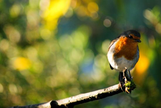 Westerton Bed and Breakfast: Robin