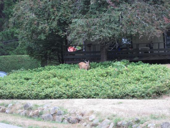 Green Acres Lakeside Resort Salt Spring Island: local deer looking for food