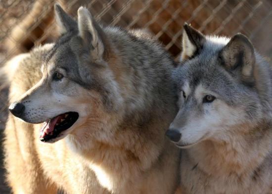 Saint Francis Wolf Sanctuary: Bonded Pair