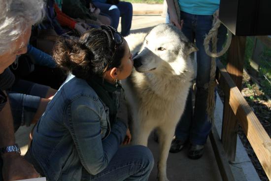 Saint Francis Wolf Sanctuary: Our ambassador Wolfdog, Tala