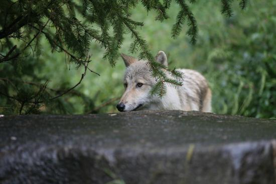 South Salem, Νέα Υόρκη: NY Wolf Conservation Center