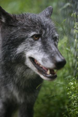 ‪‪South Salem‬, نيويورك: NY Wolf Conservation Center‬