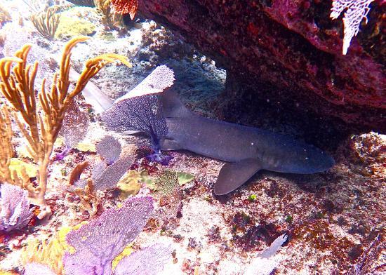 Man-O-War Cay: Nurse Shark