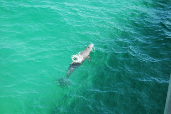 Okaloosa Island Pier Dolphin View From