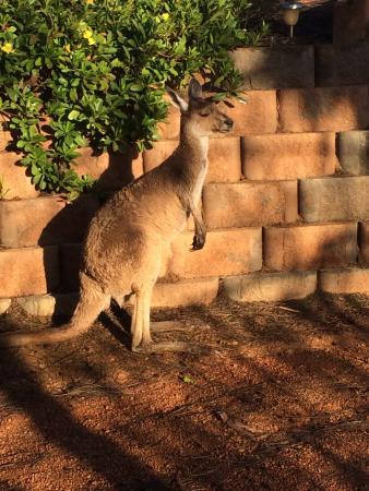 Bindoon, أستراليا: Geraldine the Pet Kangaroo