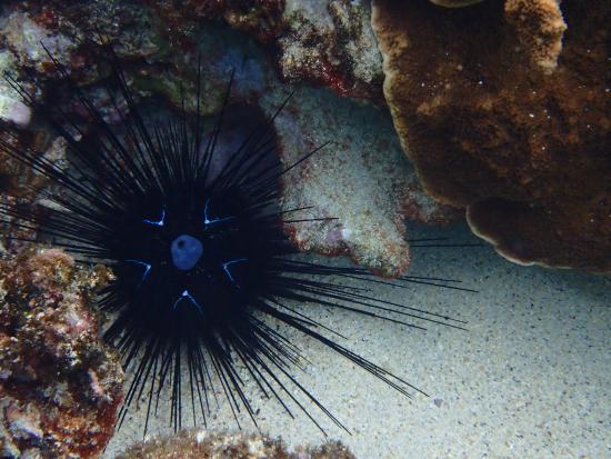 Marine Adventures: Urchin