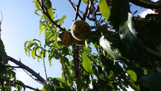 Kavros Beach: owoce w ogrodzie hotelowym