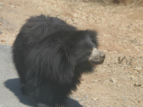 Asian bear baloo