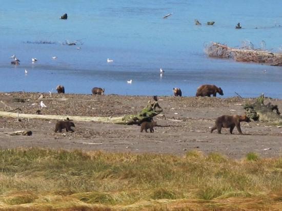 Surge Narrows, Canadá: Grizzly Bears at Orford River Estuary