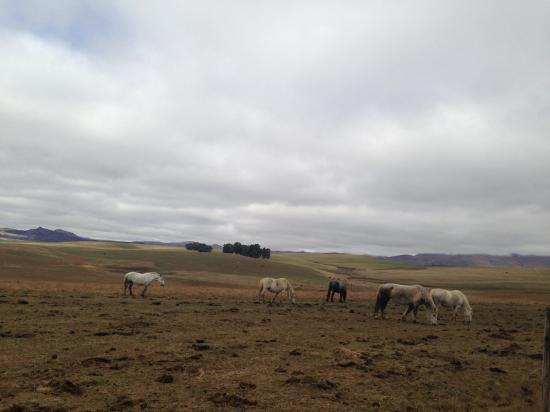 Penwarn Country Lodge: Spectacular Percheron horses