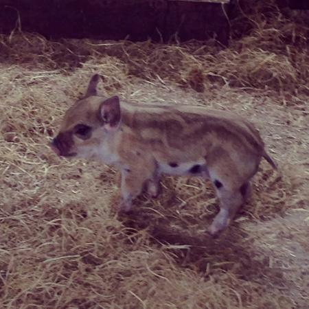 Penwarn Country Lodge: Little piglet at Waterford