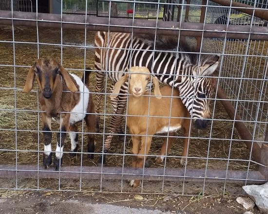 Mayhill, นิวเม็กซิโก: Happy Goats