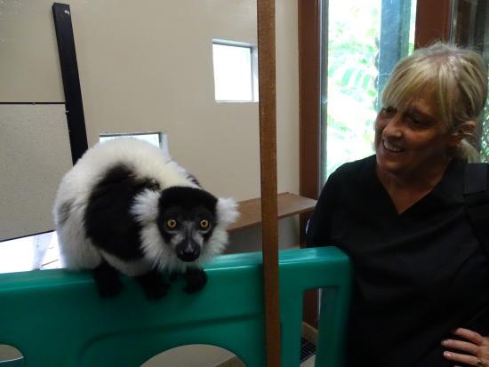 Traditional Ringtail Lemur (Zoboomafoo) - Picture of Duke Lemur