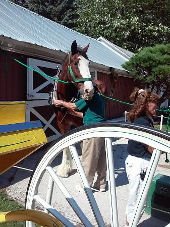 Larson's Famous Clydesdales: Bud loves Cal