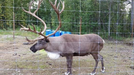 Chena Hot Springs Resort: Resident Caribou