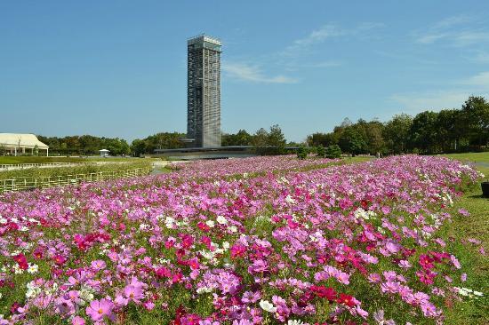 Hamanako Garden Park : 浜名湖ガーデンパーク『コスモス花畑』(10月)