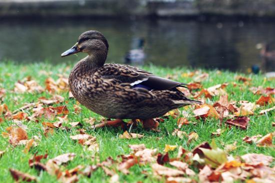 Winnall Moors Nature Reserve: duck