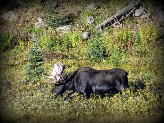 Bellvue, CO: Bull Moose