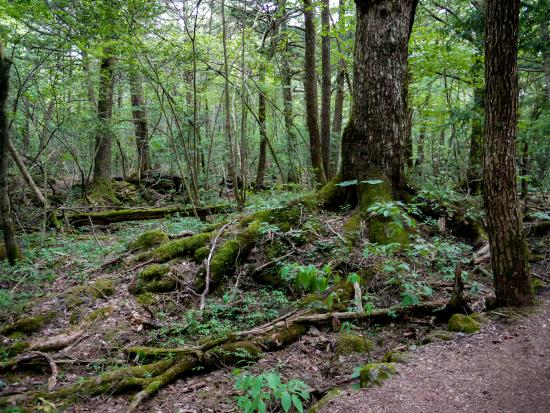 Aokigahara Forest Nature Guide Tour