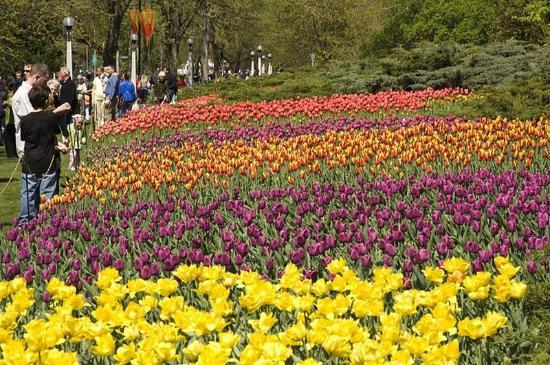 Comfort Inn Ottawa East: Ottawa Tulip Festival Flowers