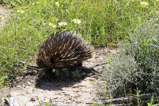 Dowerin, Australia: Echidna at Tin Dog Creek Reserve