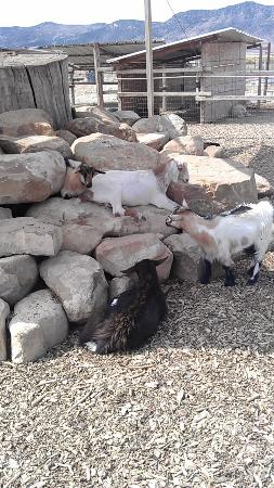 Scipio, UT: The goats and sheep at the petting zoo