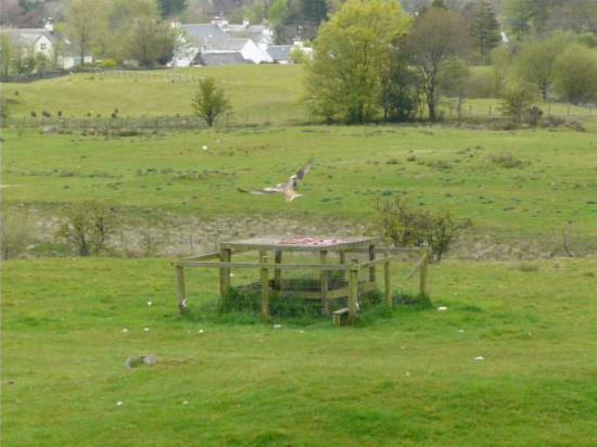 Laurieston, UK: Kites feeding