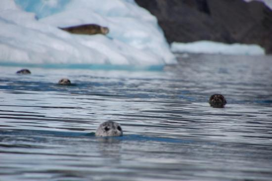 Allens Alaska Adventures: Harbor Seals following kayaks