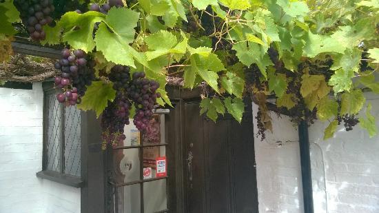 The Talbot Inn: The grapes glistening in the September sun