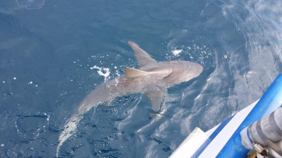 Blue Heron Fishing: 9 footer Sandbar Shark