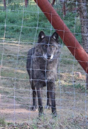 Divide, Κολοράντο: Wolf