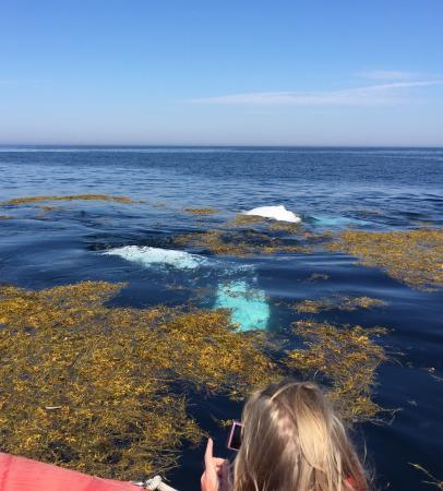 Tiverton, Kanada: Humpback whale playing in the rockweed!