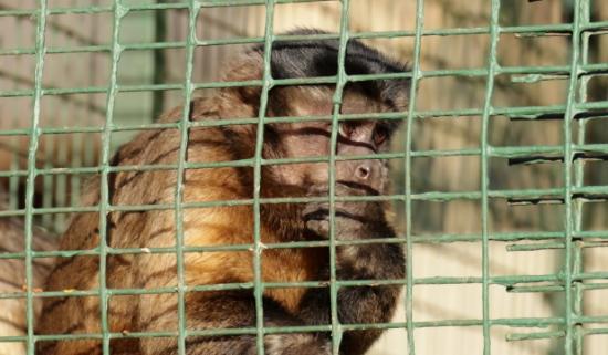 Piet Retief, South Africa: Tom the Capuchin