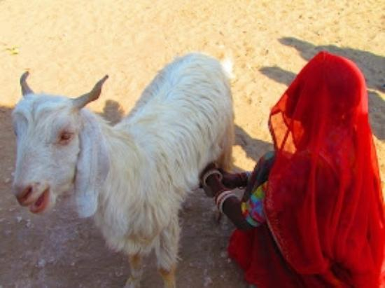 Pokaran, India: Rajasthani Animal Goat