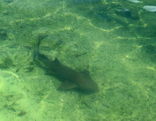 Bud N' Mary's Fishing Lodge: Nurse shark swimming in front of our houseboat deck