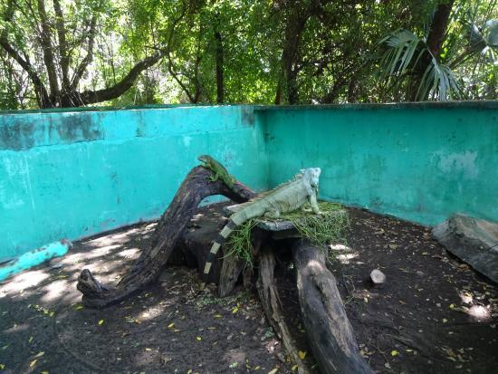 Monterrico, กัวเตมาลา: Echsen